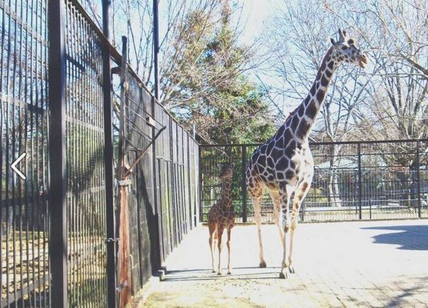 Diamond, the beloved giraffe at the Jackson Zoo, is shown with one of the 8 calves she delivered.
