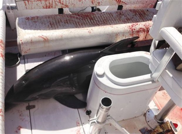 This June 21, 2015, photo provided by Dirk Frickman shows a dolphin that leaped onto his boat and crashed into his wife, Chrissie Frickman, breaking both her ankles near Dana Point, Calif. Dirk, pulled her out and called authorities as he headed toward an Orange County harbor. While he steered, he splashed water on the about 350-pound dolphin to keep it alive as it thrashed around and bled from some cuts. (Dirk Frickman via AP) (Dirk Frickman)